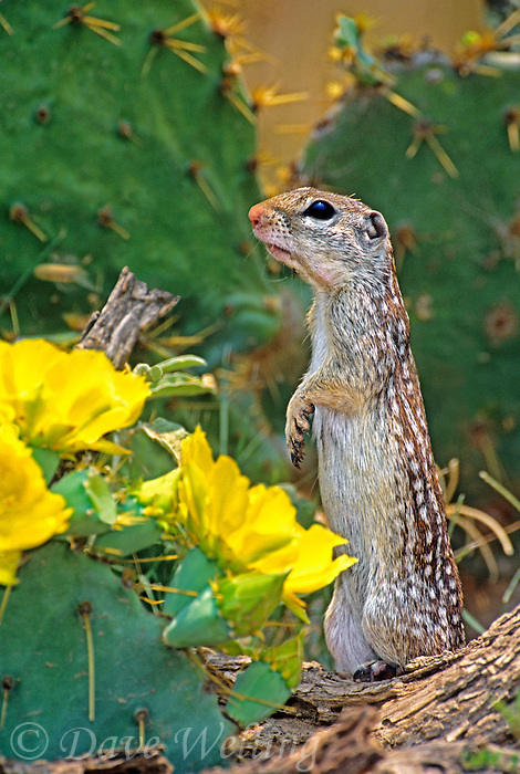 679270016 a wild adult mexican ground squirrel spermophilus mexicanus stands among yellow flowers of flowering opuntia cactus plants looking over its surroundings in the rio grande valley of south texas