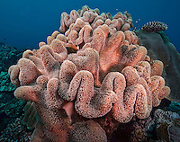 Huge soft leather coral in Yap Micronesia. (Photo by Matt Considine - Images of Asia Collection)
