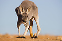 Australia,  NSW, Sturt National Park; red kangaroo female (Macropus rufus); the red kangaroo population increased dramatically after the recent rains in the previous 3 years following 8 years of drought