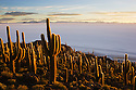 Bolivia, Altiplano, Salar de Uyuni, rare cactus forest (Echinopsis tarijensis) on Isla Inkahuasi, sunset