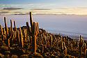Bolivia, Altiplano, Salar de Uyuni, rare cactus forest (Echinopsis tarijensis) on Isla Inkahuasi, sunset