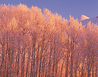 Icy Aspen Trees, Manti-La Sal National Forest, Utah   Remnants of early winter ice storm   Near Moab, Utah