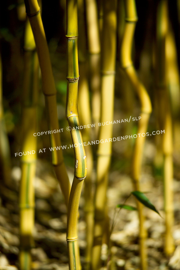 """Curiously bent and curved, Spectabilis bamboo, Phyllostachys Aureosulcata 'spectabilis', has got to be one of the most interesting bamboos.  Growing to roughly 25' and with a maximum culm, or stalk, diameter of 1-1/2"""", it is hardy to USBA zone 5, prefers full sun, and is drought tolerant when established."""