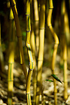 "Curiously bent and curved, Spectabilis bamboo, Phyllostachys Aureosulcata 'spectabilis', has got to be one of the most interesting bamboos.  Growing to roughly 25' and with a maximum culm, or stalk, diameter of 1-1/2"", it is hardy to USBA zone 5, prefers full sun, and is drought tolerant when established."