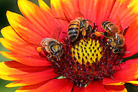 Honey bees at the center of Gaillardia pulchella. Common names include Indian Blanket, Blanket Flower, Bandana Daisy, and Firewheel.