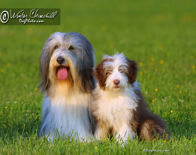 Bearded Collie<br /> <br /> <br /> Shopping cart has 3 Tabs:<br /> <br /> 1) Rights-Managed downloads for Commercial Use<br /> <br /> 2) Print sizes from wallet to 20x30<br /> <br /> 3) Merchandise items like T-shirts and refrigerator magnets