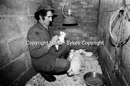 Puppy Farming Wales 1989. A Welsh Hill farmer and puppy breeder with a litter of Westie's.<br /> <br /> The Davies family Llwch-yr-hal near Newcastle Emlyn. Many of their dogs in shocking conditions, with out water, and heat in cold damp and dark