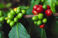 Kona coffee cherries on tree on big island of hawaii