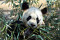 April 1, 2011, Tokyo, Japan - A male giant panda &quot;Ri Ri&quot; eats bamboo at Ueno Zoo in Tokyo on Friday, April 1, 2011, on the first day its appearance with a fellow female panda &quot;Shin Shin&quot;, not seen, to the public. Thousands of visitors flocked to catch a first glimpse of a pair of pandas on loan from China, in a welcome respite from the gloom over last month's massive earthquake and tsunami in northern Japan. (Photo by Daiju Kitamura/AFLO) [1045] -ty-
