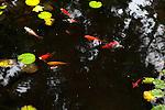 Goldfish pond with lilypads, NJ, USA