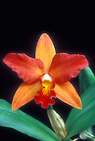 Splash Petal Cattleya Orchid: Thwaitesara aka Potinara Perestroika.