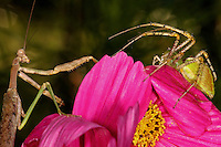 I like this one for the drama, & strange specular highlights in the background. They look like vengeful spirits to me. Or maybe a demonic cheering section? Praying Mantis & Green Lynx Spider, garden cosmos flower.