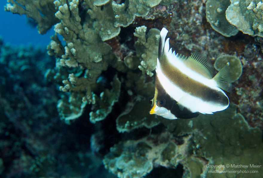 Moorea, French Polynesia; Pennant Butterflyfish (Heniochus chrysostomus), solitary or in pairs, found in inshore and outer reefs, in 3-45 meters, in the East Indo-Pacific Ocean region, Cocos-Keeling Islands to Indonesia, Philippines, Micronesia, Fiji and French Polynesia. S.W. Japan to N.W. & E. Australia, to 18 cm , Copyright © Matthew Meier, matthewmeierphoto.com All Rights Reserved