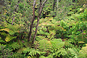Tree fern and ohia tree native rainforest at Thurston Lava Tube, Hawaii Volcanoes National Park, Island of Hawaii.