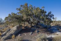 Utah Juniper  - Juniperus osteosperma, Mojave desert, CA