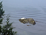 Albino seal resting on rocky point off Henry Island in the San Juan Islands