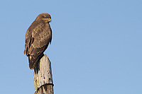 Buzzard (Buteo buteo) atop a telegraph pole. Dorset, UK.