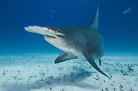 RR1733-D. Great Hammerhead Shark (Sphyrna mokarran), a large and solitary species growing to 20 feet long, found worldwide in tropical seas. Bahamas, Atlantic Ocean.<br /> Photo Copyright &copy; Brandon Cole. All rights reserved worldwide.  www.brandoncole.com