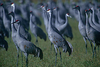 51266427 a flock of sandhill cranes grus canadensis in a large field in bosque del apache national wildlife refuge new mexico