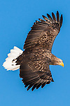White-tailed sea eagle, Hokkaido, Japan