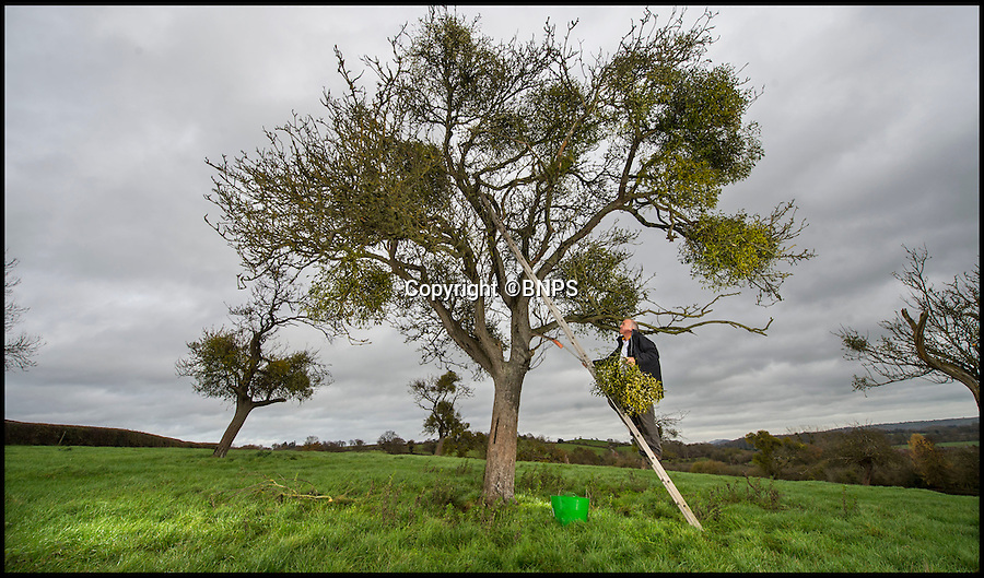 BNPS.co.uk (01202 558833)<br /> Pic: PhilYeomans/BNPS<br /> <br /> Simon Davies of the English Mistletoe Company collects the ancient Christmas staple from an old apple tree near Tenbury Wells in Worcestershire.<br /> <br /> Retired policeman Simon Davies is rushed off his feet after branching out into an unlikely new profession - collecting and selling English mistletoe.<br /> <br /> After hanging up his bobby's hat the former detective constable now plies his trade harvesting the traditional festive plant from disused apple orchards.<br /> <br /> During the short two-month mistletoe season Simon will have to make dozens of trips to orchards surrounding the Worcestershire market town of Tenbury Wells, the historic home of English mistletoe.<br /> <br /> Simon's business the English Mistletoe Company sells 5kg boxes of mistletoe for &pound;40 and high profile clients have included luxury handbag company Mulberry, top fashion designer Margaret Howell and cancer charity Maggie's.