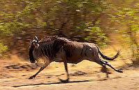 Migrating Blue Wildebeest running to catch up the herd,Grumeti,Tanzania