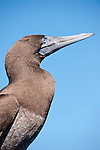 Sea of Cortez, Baja California, Mexico; a head shot of a Brown booby (Sula leucogaster) bird