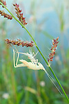 Meadow Katydid (Orchelimum sp.), Molting by Pond, Clemson, South Carolina, USA