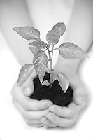 16/06/2009 Child hands nurturing a seedling to illustrate quotes on a client web site. Photo © Tim Gander 2009, all rights reserved. Tel: 07703 124412 tim@timgander.co.uk