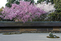 A cherry tree in full bloom hangs over the low wall that surrounds the minimal stone and gravel Ryoan-Ji Temple garden in Japan