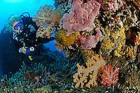 Dendronephthya sp.,Korallenriff, Weichkorallen und Taucher, Soft coral reef and scuba diver, Bali, Indonesien, Indopazifik, Indonesia Asien, Indo-Pacific Ocean, Asia