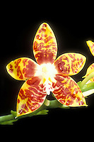 Orchid orange and yellow species of Phalaenopsis amboinensis