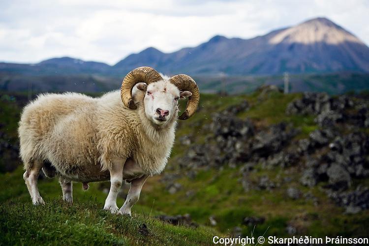 A mighty ram at Mývatn, north Iceland