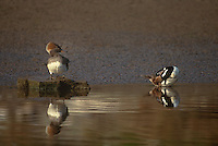559287002 a male and female hooded merganser lophodytes cucullatus preen at the edge of an estuary near santa barbara california
