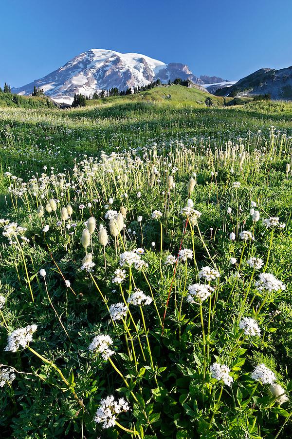 Mount Rainier above meadow full of sitka valerian, Edith Creek, Mount Rainier National Park, Pierce County, Washington, USA
