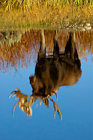 Bull Moose (Alces alces) reflection.  Western U.S., fall.
