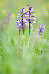 Green Winged Orchid, Anacamptis morio, Marden Meadow, Kent Wildlife Trust Reserve, UK