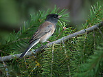 Dark-eyed Junco sitting in an evergreen tree