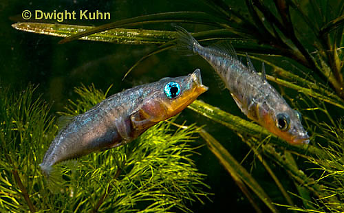 1S17-510z  Male Threespine Sticklebacks defending territories, Mating colors showing bright red belly and blue eyes,  Gasterosteus aculeatus,  Hotel Lake British Columbia