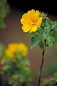 State flower native yellow hibiscus