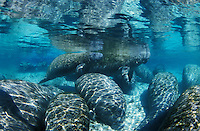 mw125. Florida Manatees (Trichechus manatus latirostris), a subspecies of the West Indian Manatee. Florida, USA..Photo Copyright © Brandon Cole. All rights reserved worldwide.  www.brandoncole.com.This photo is NOT free. It is NOT in the public domain..Rights to reproduction of photograph granted only upon payment in full of agreed upon licensing fee. Any use of this photo prior to such payment is an infringement of copyright and punishable by fines up to  $150,000 USD...Brandon Cole.MARINE PHOTOGRAPHY.http://www.brandoncole.com.email: brandoncole@msn.com.4917 N. Boeing Rd..Spokane, WA  99206  USA.tel: 509-535-3489.
