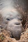 San Simeon, California; a sub-adult male Northern Elephant Seal (Mirounga angustirostris) resting on the sand near the shoreline