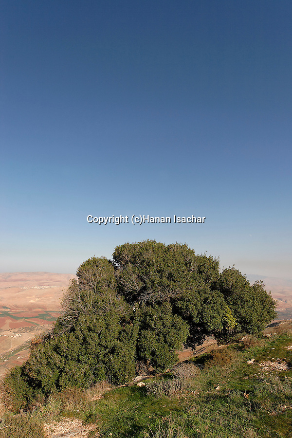 Samaria, Kermes Oak (Quercus Caliprinos) on Mount Kabir