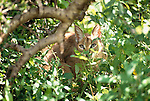 Caracal, Samburu National Reserve, Kenya