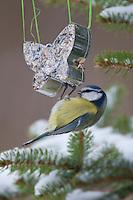 Blaumeise, an der Vogelfütterung, Fütterung im Winter bei Schnee, an Fettfutter in weihnachtlichen Formen, weihnachtlich, selbstgemachtes Vogelfutter, Winterfütterung, Blau-Meise, Meise, Cyanistes caeruleus,  Parus caeruleus, blue tit