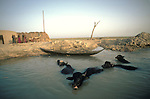 Marsh Arabs. Southern Iraq. Circa 1985. Marsh Arab family with Water Buffalo. .