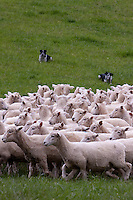 Header dogs gather Romney sheep into flock and drive them home.  Masterton, Wairarapa region, north island, New Zealand.
