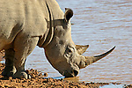 Africa, South Africa, Kwandwe. The Southern White Rhino.