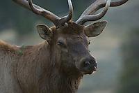Elk, Wapiti, Cervus elaphus, bull,  Yellowstone NP,Wyoming, September 2005