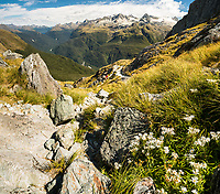 Alpine daisy on Conical Hill on Routeburn Track. Darran Mountains of Fiordland in background, Mt. Aspiring National Park, UNESCO World Heritage Area, Central Otago, New Zealand, NZ
